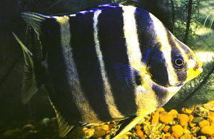 Scatophagus tetracanthus from Zambezi re