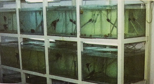 Breeding tanks for Pterophyllums