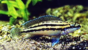 Julidochromis dickfeldi ed