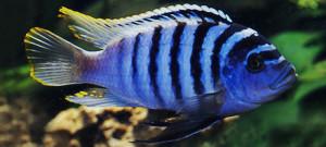 Pseudotropheus zebra Chilumba re