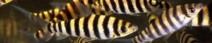 Leporinus fasciatus video re
