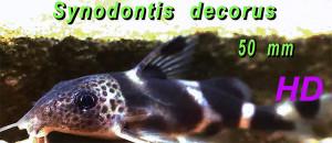 Synodontis HD