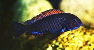 Tropheus moorii Zambia Red ed