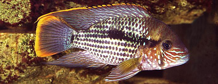 aequidens-rivulatus-re.jpg