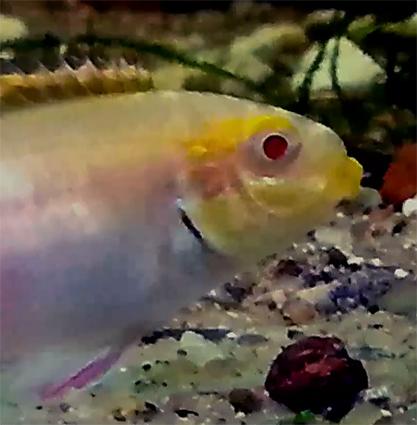 albino-kribensis-1-anatoly.jpg