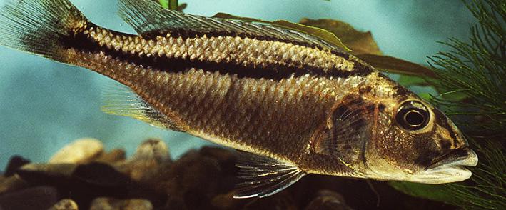 aristochromis-chrystii.jpg
