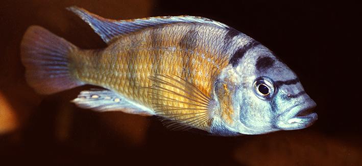 astatotilapia-brownae.jpg