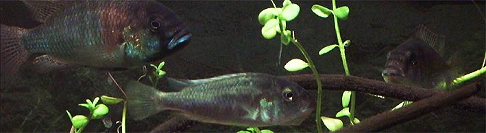 astatotilapia-burtoni-2014-nov-fem-2-eggs.jpg