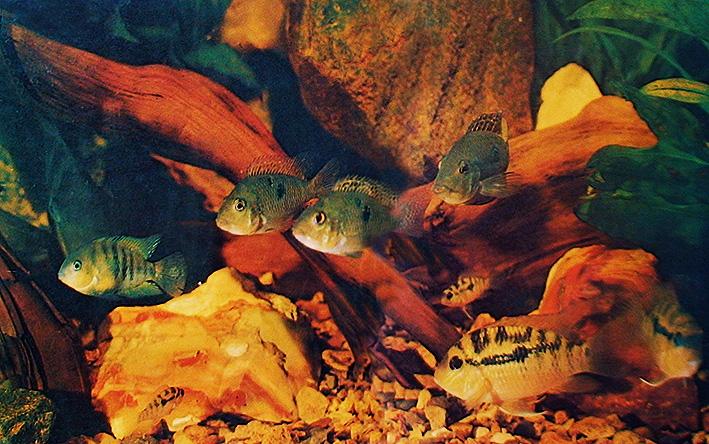 biotop-cichlids-1978.jpg