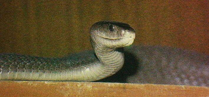 black-mamba-dendroaspis-polylepis.jpg