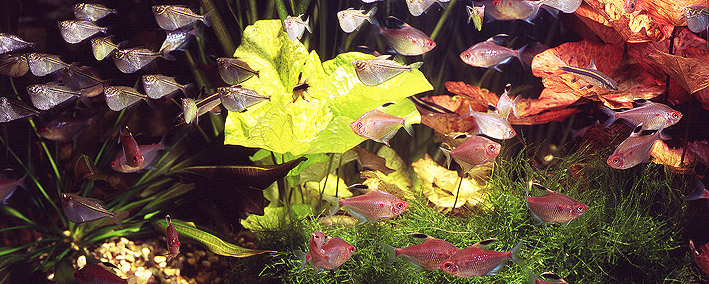 characoids-in-aquarium.jpg