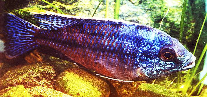 copadichromis-taeniolatus-male-re.jpg
