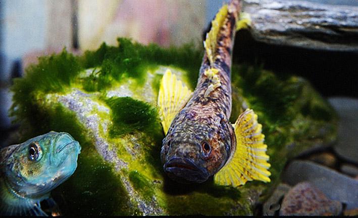 cottocomephorus-grewingki-pair-in-breeding-colour.jpg