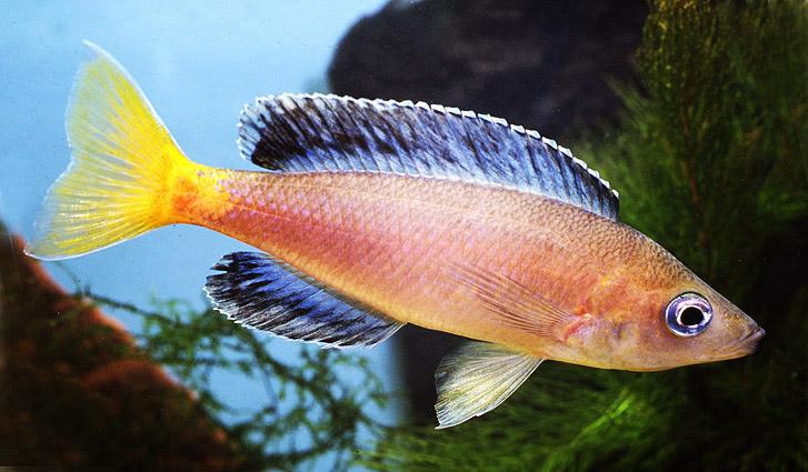 cyprichromis-leptosoma.jpg