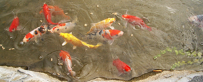 fire-pond-koi-carps.jpg