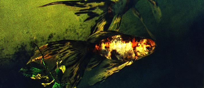 gold-fish-sergey-obraztsov.jpg