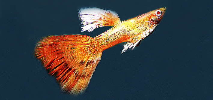 guppy-albino-red-eyes-re.jpg