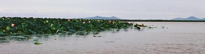 hanka-lake-nelumbo-komarowi.jpg