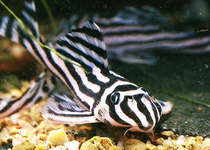 hypancistrus-zebra.jpg