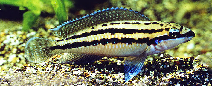 julidochromis-dickfeld-re.jpg