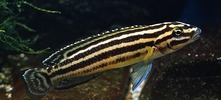 julidochromis-regani.jpg