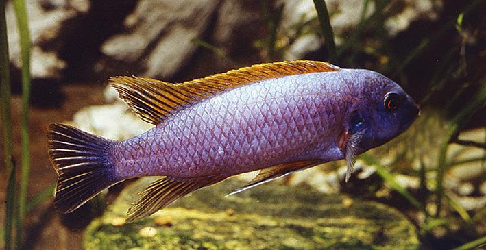labeotropheus-trewavasae-male.jpg
