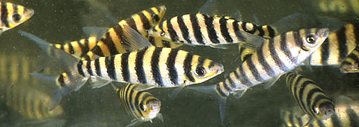 leporinus-fasciatus-wctab-8-cm.jpg