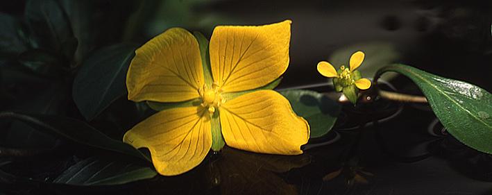 ludwigia-spp-flowers.jpg