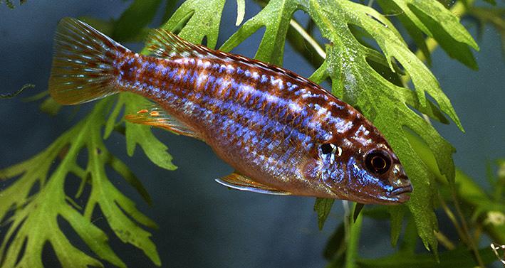 melanochromis-exasperatus.jpg