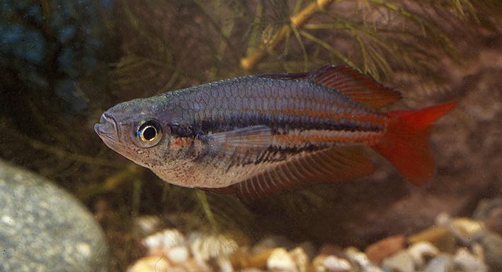 melanotaenis-australis.jpg