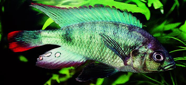 neochromis-nigricans.jpg