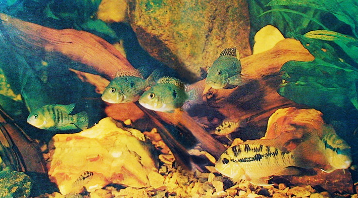neptune-1978-cichlids-exh-re.jpg