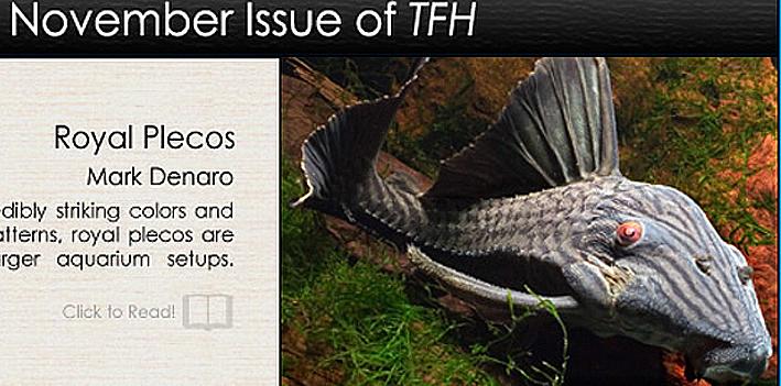 panaque-nigrolineatus-tfh.jpg