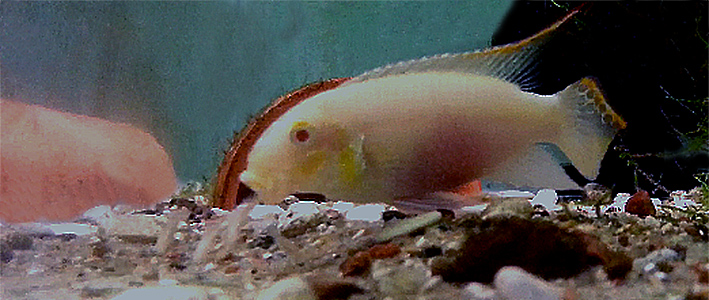 pelvicachromis-pulcher-albino-male-and-young.jpg