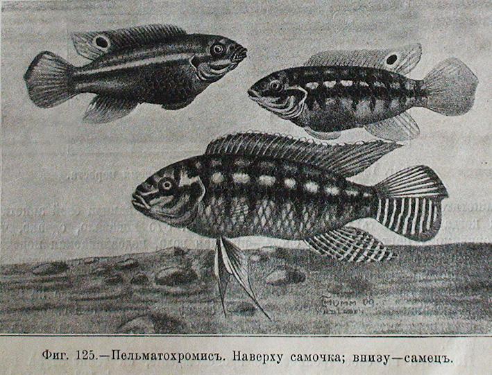 pelvicachromis-subocellatus-zolotnitsky.jpg