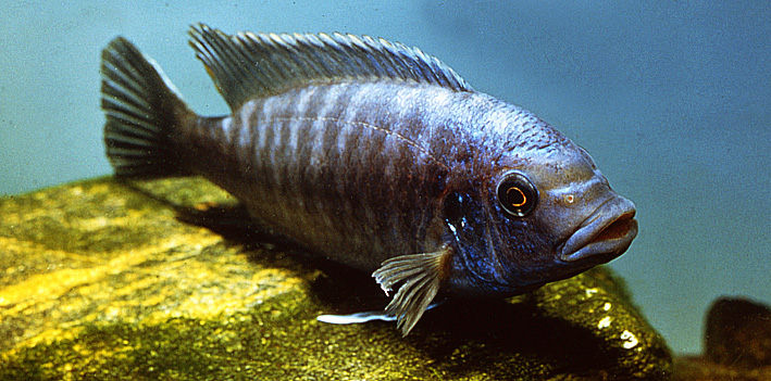 petrotilapia-tridentiger-male.jpg