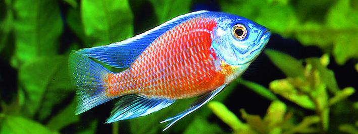 placidochromis-borley-cadango-red.jpg