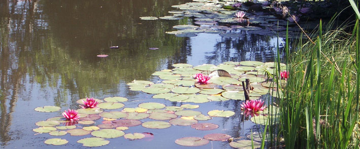 pond-with-water-lilies-1.jpg
