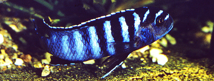pseudotropheus-elongatus-m6.jpg