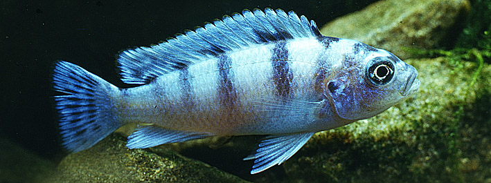 pseudotropheus-lombardoi-female-re.jpg