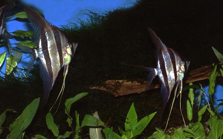 pterophyllum-altum.jpg