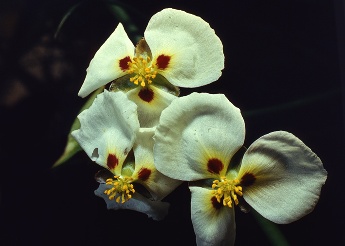 sagittaria-flowers.jpg