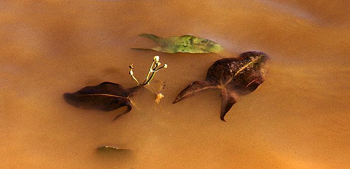 sagittaria-khanka-floating-leaves-flowers.jpg
