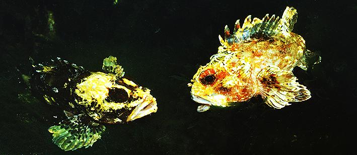 scorpaena-porcus-var.jpg