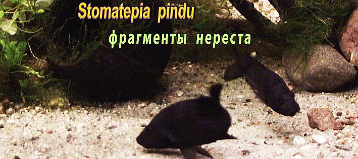 spawning-stomatepia-pindu.jpg