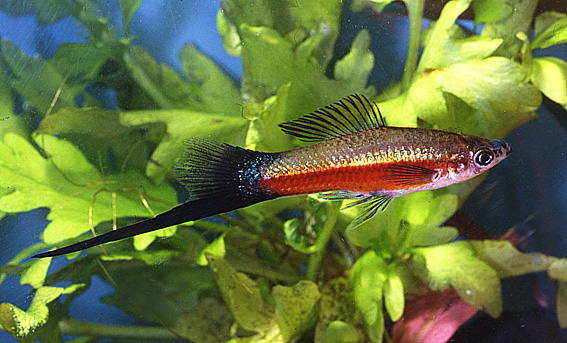 swordtail-neon-red.jpg