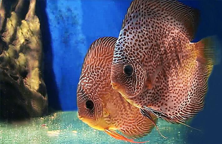 symohsodon-aequifasciatus-var-1.jpg