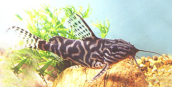 synodontis-crossbreed-1-fb2.jpg