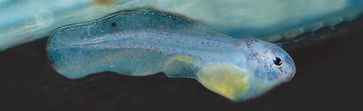 synodontis-pardalis-larvae.jpg