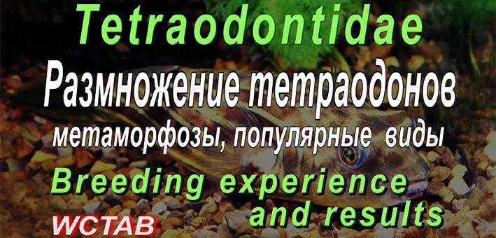 tetraodons-1.jpg